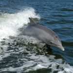 1200px-Tursiops_truncatus_01